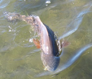 Snook, Redfish Action for Sanibel Captiva Stays Hot